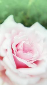 薔薇の画像(ふんわりに関連した画像)