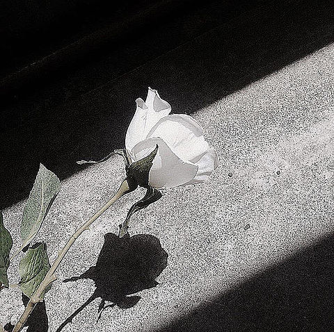 Rose     保存は ♡  or  +👤の画像(プリ画像)