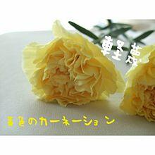 黄色いカーネーションの画像(黄色いカーネーションに関連した画像)