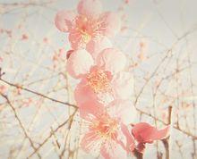だんご梅。の画像(プリ画像)
