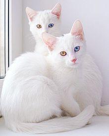 白猫オッドアイ♡の画像(白猫 オッドアイに関連した画像)