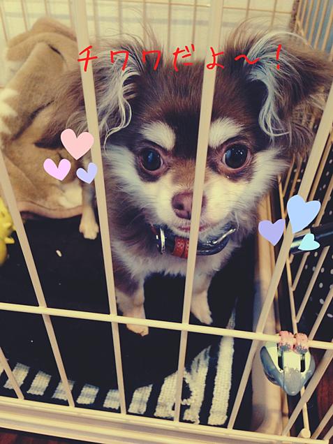 私の犬でメスです!チワワだよ〜の画像(プリ画像)