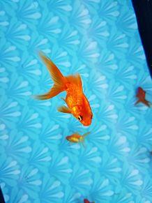 金魚 プリ画像