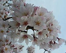 桜 素材の画像(プリ画像)