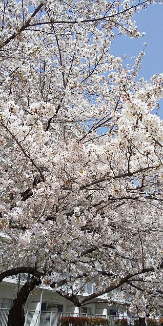 桜の画像(プリ画像)