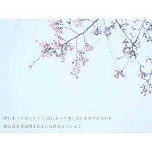 桜 _ .の画像(待ち受け/ホーム画に関連した画像)