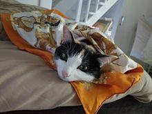 愛猫 ルビー スカーフでオシャレの画像(スカーフに関連した画像)