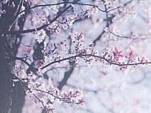 桜ひらひらの画像(プリ画像)