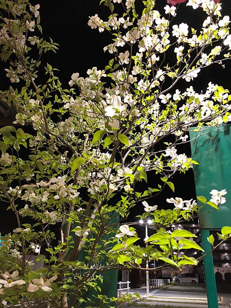 ハナミズキ〜白 ❣️の画像(プリ画像)