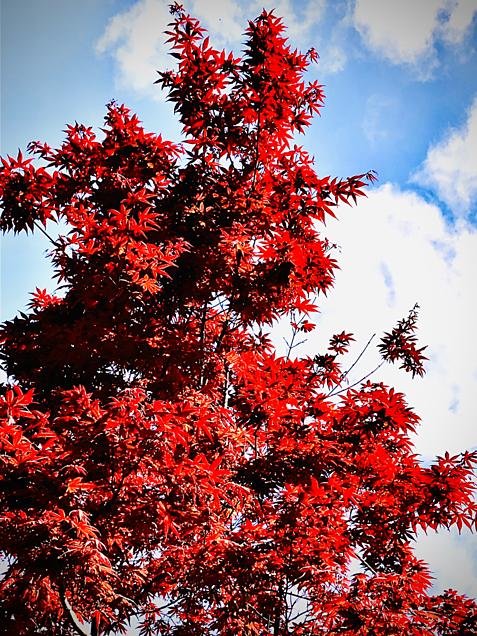 春の紅葉 🍁の画像(プリ画像)