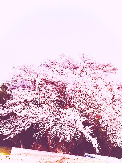 千年桜🌸の画像(プリ画像)