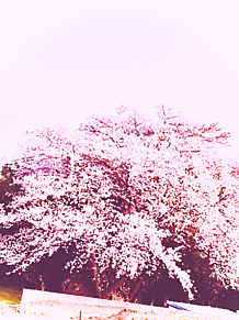 千年桜🌸 プリ画像