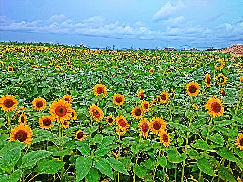 ひまわり畑の画像(プリ画像)