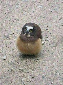 フクロウの赤ちゃんの画像(プリ画像)
