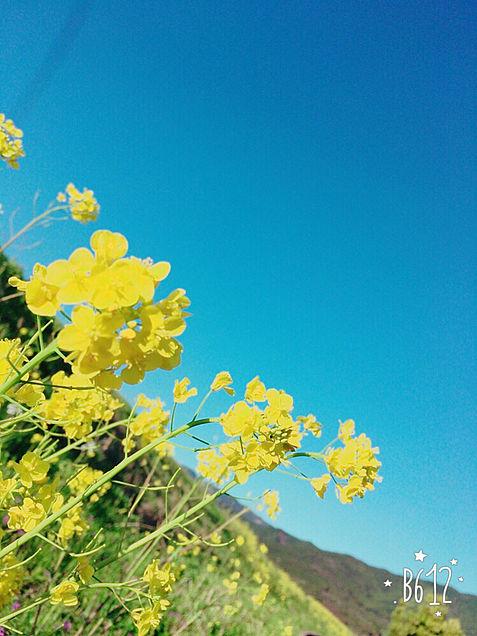 菜の花と空の画像(プリ画像)