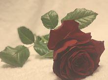 Noble roseの画像(上品に関連した画像)