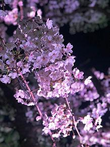 桜の画像(風景 画に関連した画像)