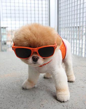 サングラスをかけたかわいい子犬