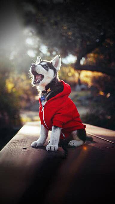 赤いパーカーのかわいい子犬
