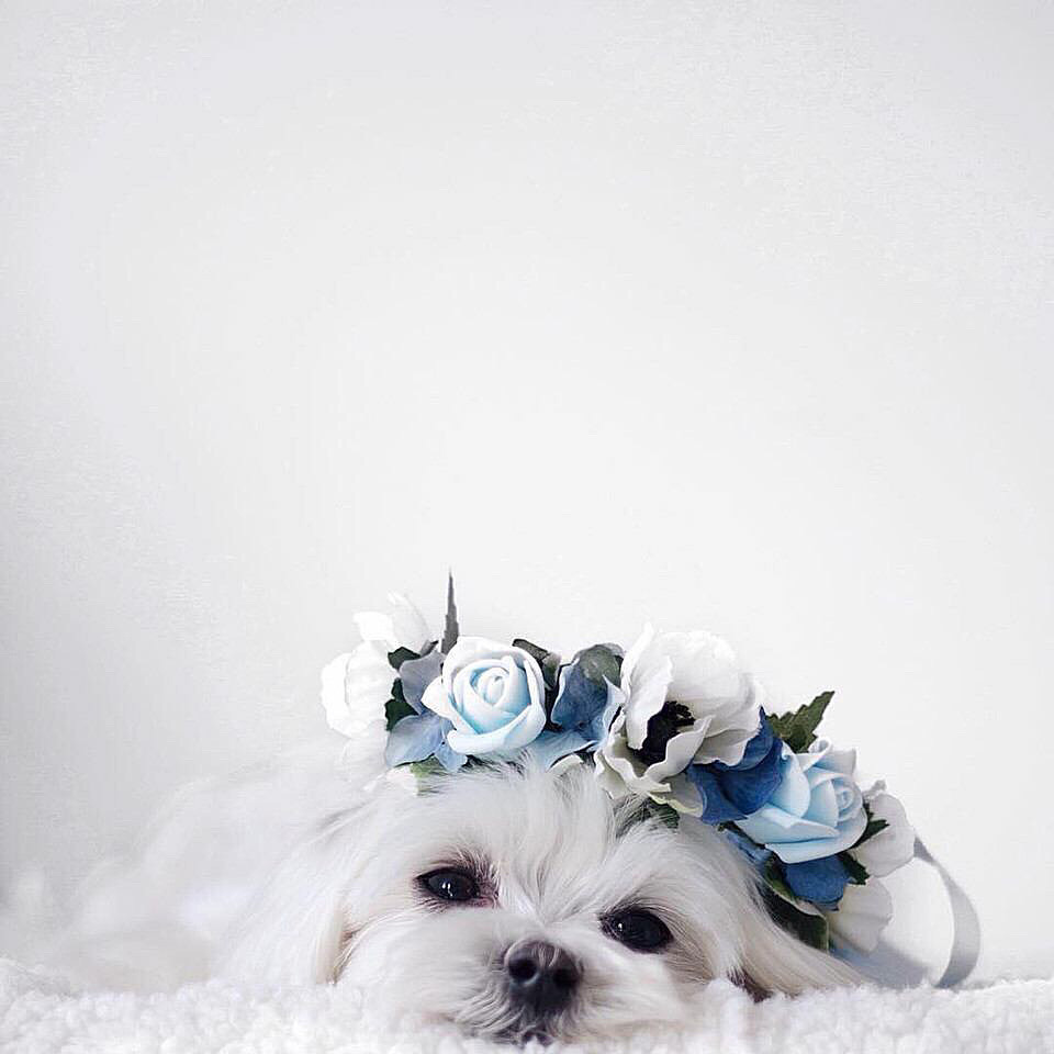 バラの冠をつけたかわいい子犬