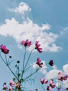 青空と秋桜 プリ画像