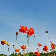 空 秋桜園(変わり種) プリ画像