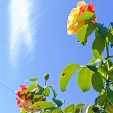 青空と薔薇 プリ画像