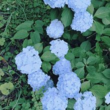 紫陽花の画像(あじさいに関連した画像)