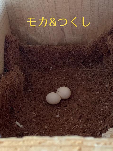 モカ父さんが抱卵奮闘中‼︎の画像(プリ画像)