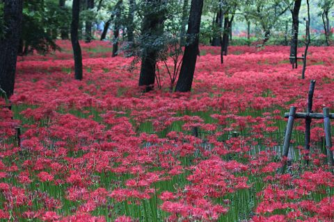 群生する曼珠沙華の花の画像(プリ画像)