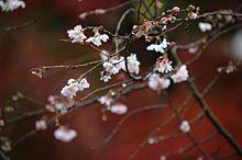 冬桜 プリ画像