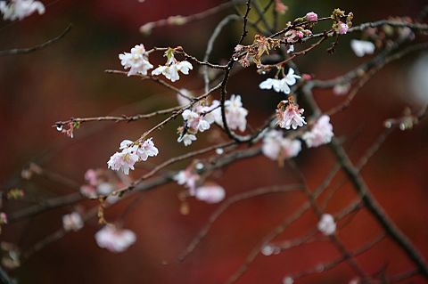 冬桜の画像(プリ画像)
