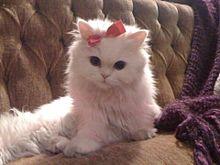 マリーの画像(猫 おしゃれに関連した画像)