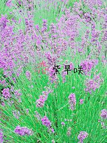 濃紫早咲___ラベンダー プリ画像