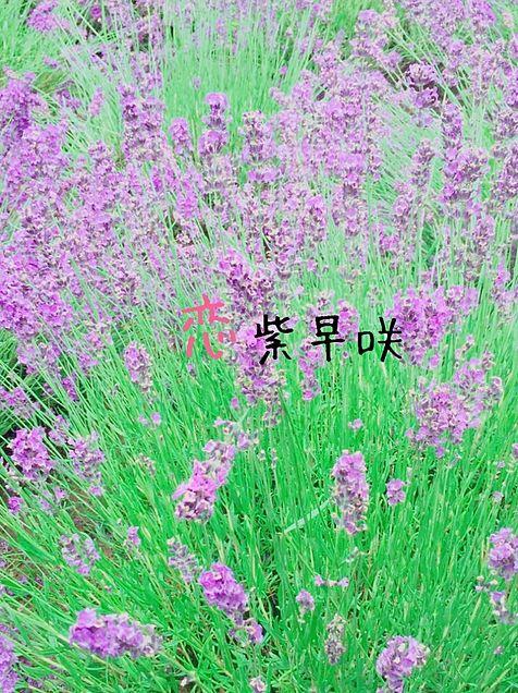 濃紫早咲___ラベンダーの画像 プリ画像
