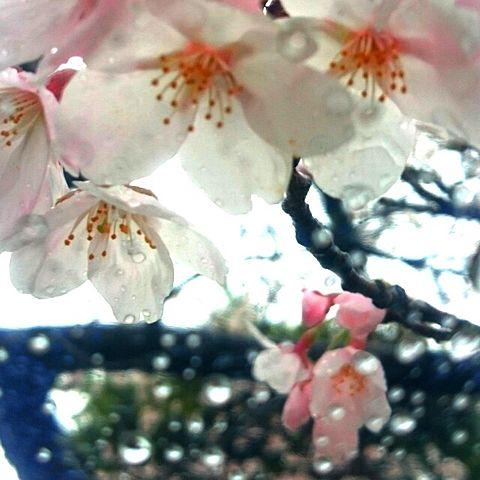 桜 素材の画像 プリ画像