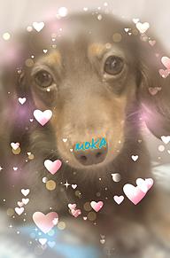愛犬ちゃん♡の画像(ダックスフントに関連した画像)
