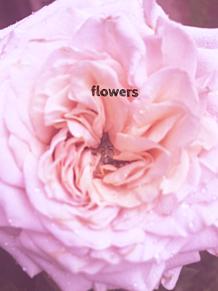 rose プリ画像