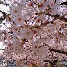 桜の画像(満開に関連した画像)