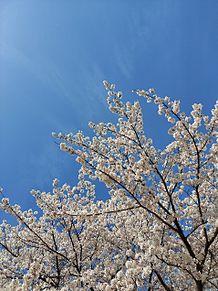 神社の桜の画像(#好きな人に関連した画像)