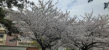 桜♥️ プリ画像