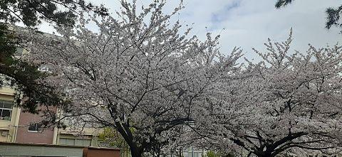 桜♥️の画像(プリ画像)