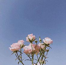 pinkrose プリ画像