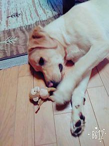 家にいる犬ハンの画像(プリ画像)