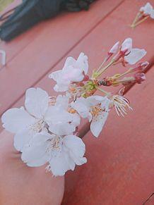 桜の花も満開に🌸の画像(満開に関連した画像)