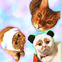 猫 ぶちゃいく ベンガル スコ エキゾチックの画像(エキゾチックに関連した画像)