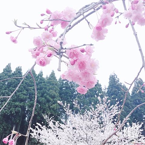 お花見🌸の画像(プリ画像)
