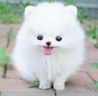 わたあめのようなかわいい子犬