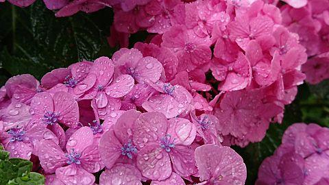 紫陽花の画像(プリ画像)