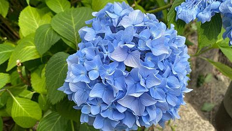 紫陽花の画像 プリ画像